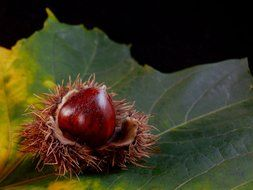 chestnut in a prickly shell on a large green leaf