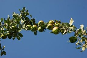 branch of apple tree with green fruits at blue sky