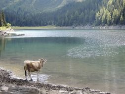 cow on the shore of a wild lake