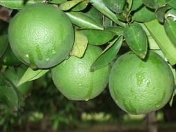 three green oranges on a branch