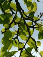 pear tree branch at sky