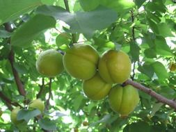 apricots green fruits trees