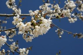 white flowering of a fruit tree in spring