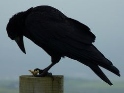 black crow on a wooden post