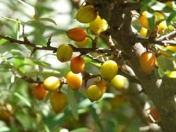 berries sea buckthorn bush fruits