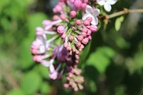 Buds of purple lilac flower