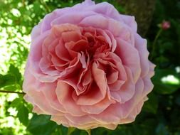 botanical rose pink