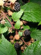 incredibly tasty blackberries
