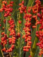 red date palm seeds