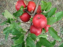 apple tree red fruits