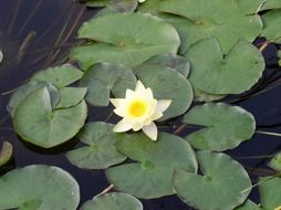 small white lotus bud in a pond