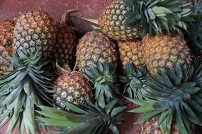 harvest of sweet pineapples