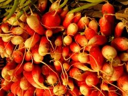 red radish tubers close up