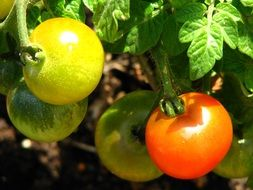 unripe tomatoes on a plant