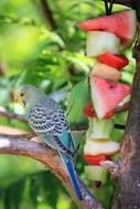 buffet for blue budgie