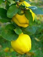 quince fruit on the branch
