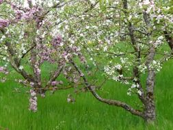 apple blossom in the green garden