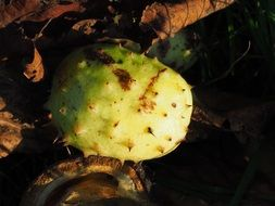 prickly chestnut shell autumn fruit