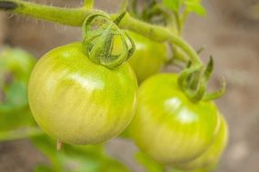 green tomatoes ripen