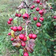 hawthorn at fall, red berries on branch