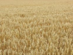 golden beautiful wheat field