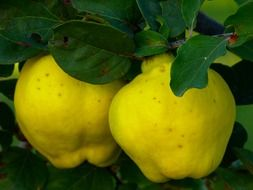 quince fruit plant leaf tree yellow color