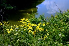 yellow flowers near pond