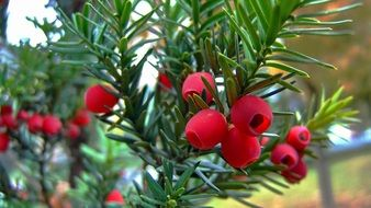 red berry yew tree fruit close-up
