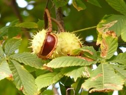 two ripe chestnuts on a tree branch
