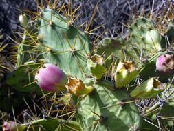 juicy and appetizing prickly pear