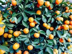 fruits on an orange bush