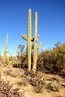 huge cactus in arizona