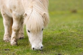 photo of a white scottish pony