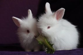 photo of the two white rabbits