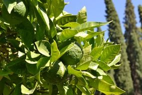orange tree immature citrus fruit