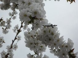 white color cherry blossom bloom flower spring