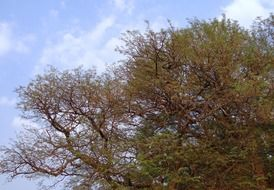 tamarind is a fruit tree