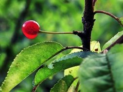 transparent red berry on the tree