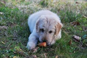 fluffy dog ​​playing with a carrot
