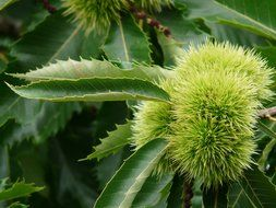 castanea sativa spiny