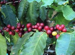 coffee beans on a branch with green leaves