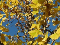 yellow leaves on a maidenhair tree