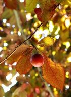 Plum fruit on the tree