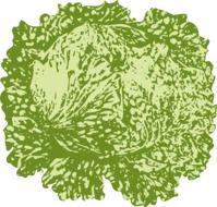 lettuce leafy vegetable drawing