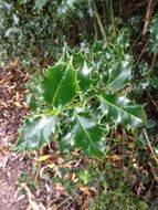 Holly leafes in nature