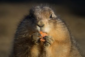 Prairie dog is eating a carrot