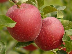 red apples on an apple tree