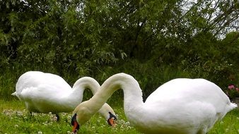 two white swans are eating grass in a meadow