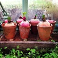 beets planted in flower pots in a greenhouse