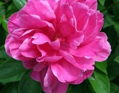 pink peony on a stalk